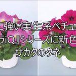 【農業ニュース】雨に強い実生系ペチュニア『バカラiQ』シリーズに新色追加 サカタのタネ